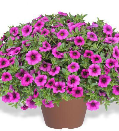 Calibrachoa Gartenbau Bongartz