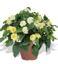 Lantana-Gem-Compact-Yellow Diamond