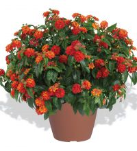 Lantana Gem Compact Orange Fire