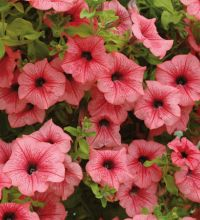 Littletunia Hot Red