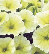 Littletunia Yellow