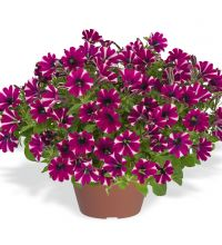 Littletunia Bicolor Bliss
