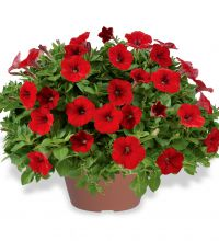 Littletunia Bright Red (Hot Red)