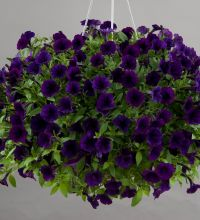 Littletunia Purple Blue